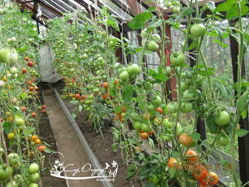 Как собрать 100кг помидоров с 1 грядки?! 8 правил. Выращиванием помидоров…