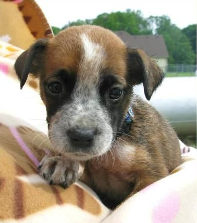 Boxer Australian Shepherd Mix Boxer/australian cattle dog