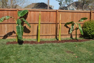 How to Plant Banana Trees (spring planting)...I can't wait to plant these in my backyard!!!
