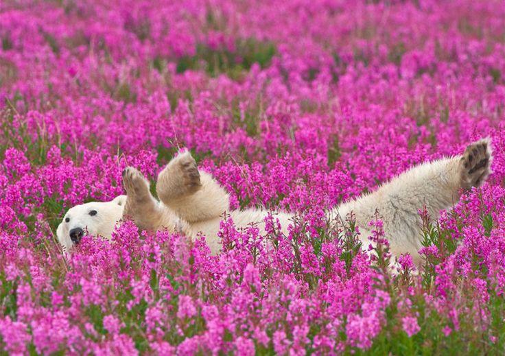 Canada : Quand les ours polaires se prélassent dans les champs de fleurs | Buzzly