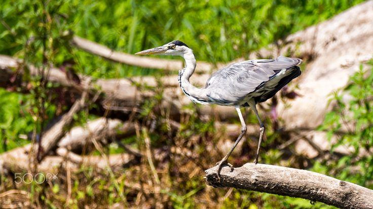 Crane on the branch - Crane on the breanch near Bug river Poland