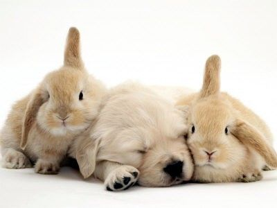 Should Dogs Take Supplements?Rabbit, Easter, Dogs, Friends, Pets, Bunnies, Golden Retriever Puppies, Animal, Golden Retriever