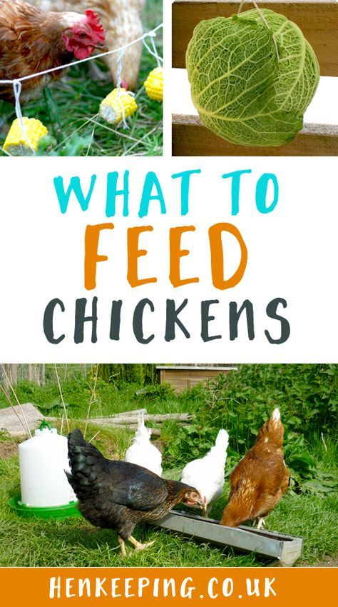 what to feed hens for better eggs