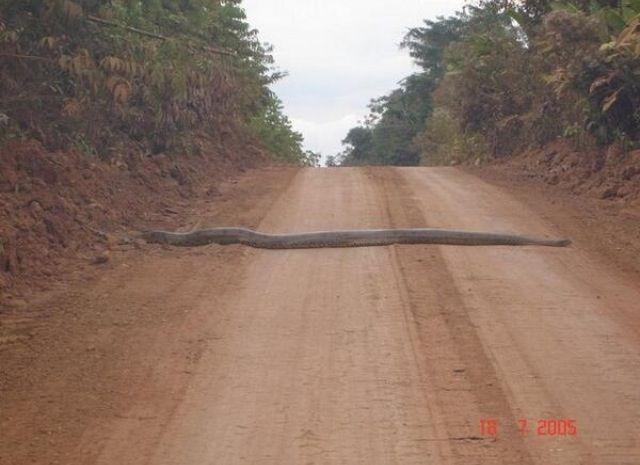 A giant anaconda crosses the road in the Amazon