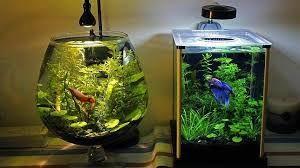 Resultado de imagen para los peces se deprimen en peceras pequeñas