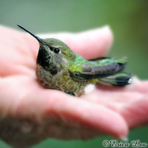 Hummingbird Photo Bird in a Hand Picture Gift Under 25 Animal Photography Fine Art Print A Gift on Etsy, $15.00