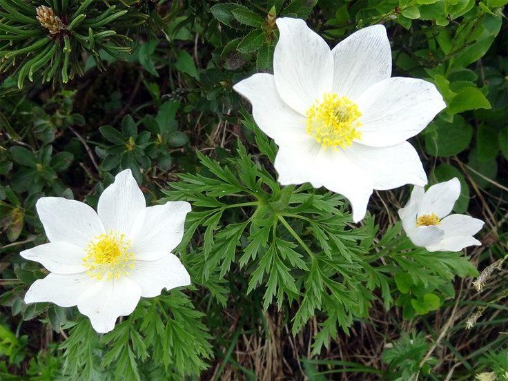 Viele geschützte Arten wie die Alpen-Kuhschelle (Alpen-Anemone) blühen hier.