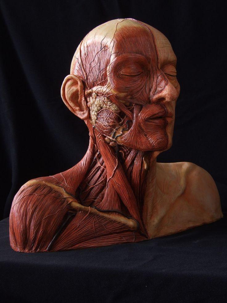 мышцы лица фото картинки запросу