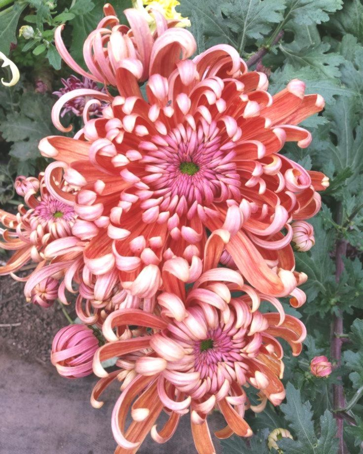 Pin On Chrysanthemum