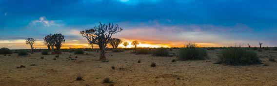 Panorama met kokerbomen bij zonsopkomst  in de Kalahari woestijn, Namibië