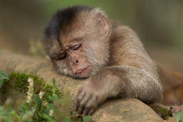 baby black spider monkey