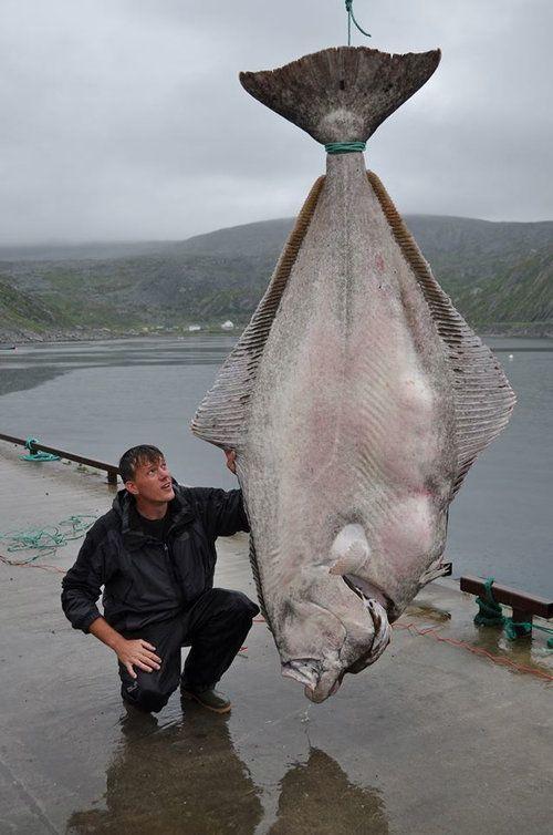 """booby4649: """" 「カレイってレベルじゃない…」世界記録となる大型魚がドイツ人によって釣り上げられる:らばQ """""""