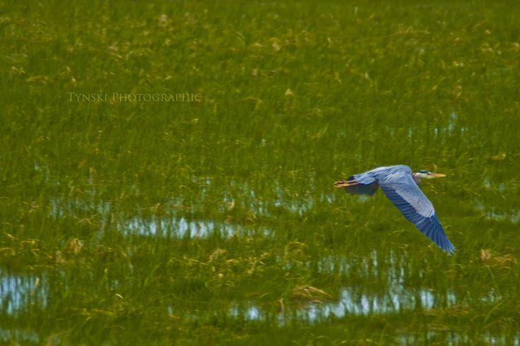 cheticamp heron