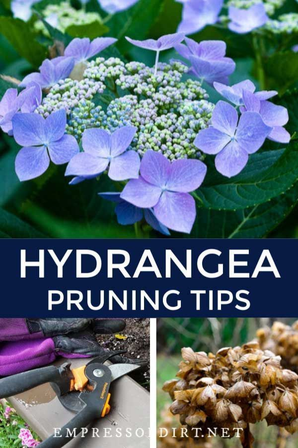 Some New Gardeners Think They Need To Prune When They Just Want To Deadhead To Remove Old Flowers In 2020 Hydrangea Landscaping Growing Hydrangeas Planting Hydrangeas