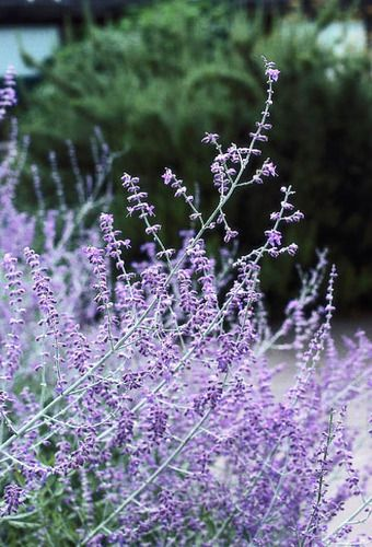 Russian Sage – 'Perovskia - Blue Spire'.  Attracts bees