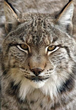 In mythology a lynx may guide a listener to a secret, whether it be a lost object or a hidden truth that is somehow relevant at the present time. On the other hand, the lynx may be an omen to warn those who have somehow betrayed the confidentiality of oneself or others.