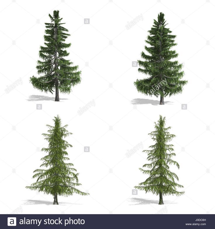 Cedar fák, elszigetelt fehér háttérrel.  Stock fotó (scheduled via http://www.tailwindapp.com?utm_source=pinterest&utm_medium=twpin&utm_content=post191002593&utm_campaign=scheduler_attribution)