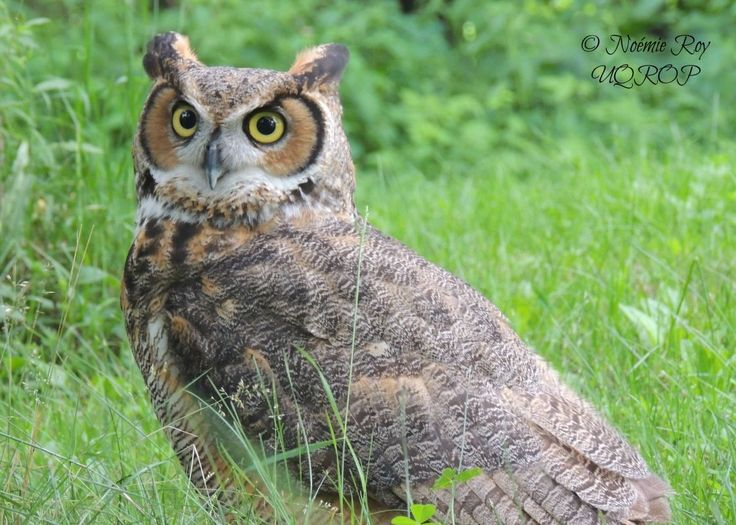 Great horned owl │ UQROP: The Union Québécoise de Réhabilitation des Oiseaux de Proie is a non profit organisation created in 1987. Its mission is to provide help for the conservation of both birds of prey and their natural environment.