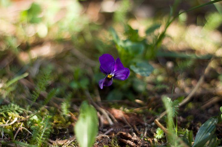 Fiołek trójbarwny inaczej bratek polny to jeden z najpopularniejszych kwiatów w okolicy