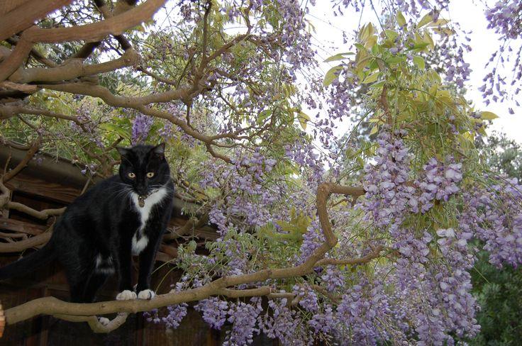 Sam in the wisteria