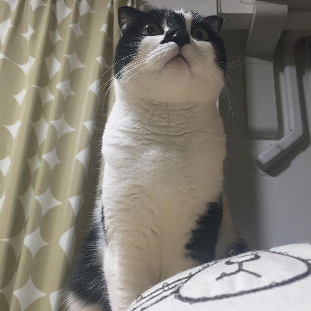 この角度の顔、スキ💕 。 。 #猫#ねこ#neko#cat#nekostagram#catstagram#かわいい猫#愛猫#ねこ部#猫部#猫のいる暮らし#みんねこ#にゃんすたぐらむ#ペコねこ部#猫壱#猫好きさんと繋がりたい#はちわれ猫#ハチワレ猫#白黒猫#たれ耳