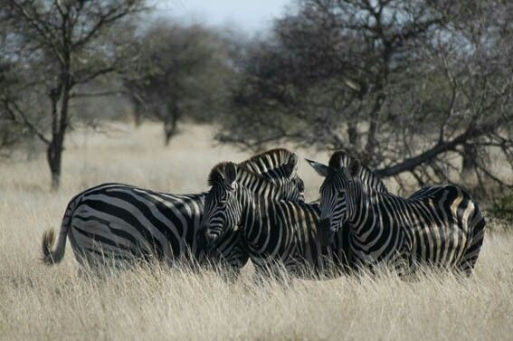 Burchell zebra: stripes and shades