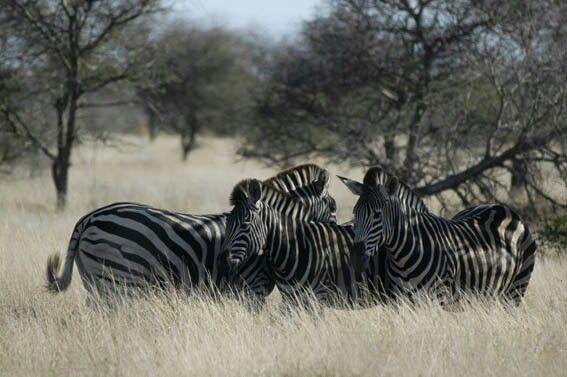 Burchell zebra: stripes and shades