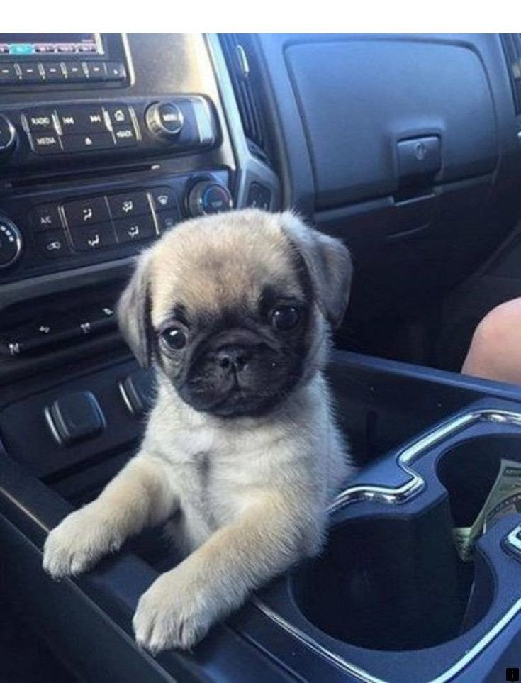 Learn About Pug Puppies Near Me Just Click On The Link To Find Out More Our Web Images Are A Must See Cute Pug Puppies Puppies Baby Pugs