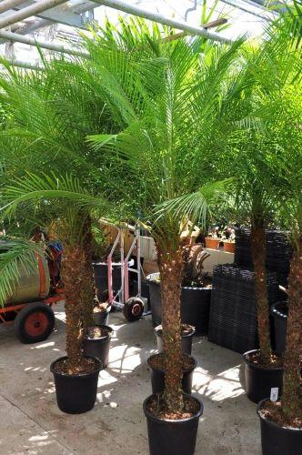 Zwergdattelpalme, Phoenix roebelenii  80-90cm Stamm