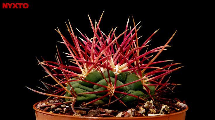 Thelocactus hexaedrophorus var. fossulatus / red spines