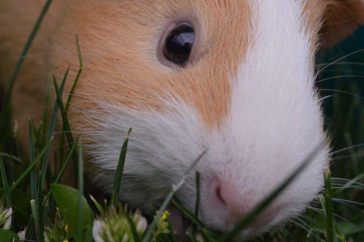 Piper the mummy Guinea pig