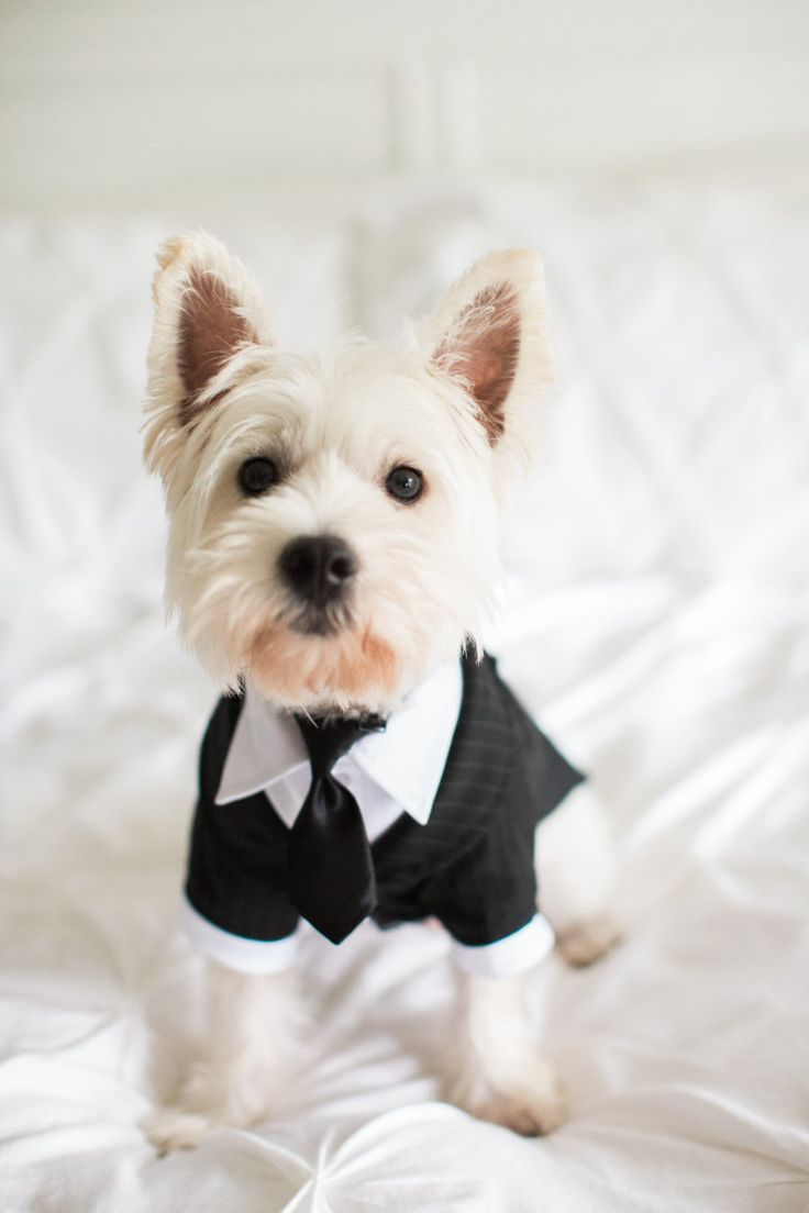 Puppy in a tuxedo! Photography: Erin Stubblefield Weddings And Portraiture - erinstubblefieldweddings.com   Read More on SMP: http://www.stylemepretty.com/2017/01/03/a-classic-vineyard-wedding-fireworks-fur-baby-included/
