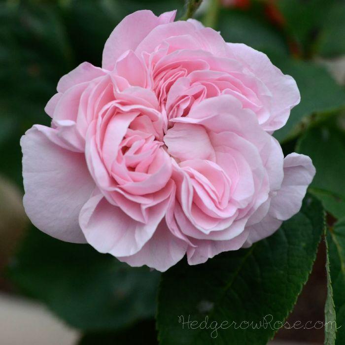 41 best unsere rosen historische und englische rosen images on pinterest english roses. Black Bedroom Furniture Sets. Home Design Ideas