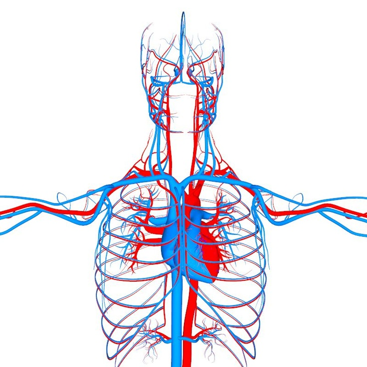 Circulatory System Organs Anatomy 3D model
