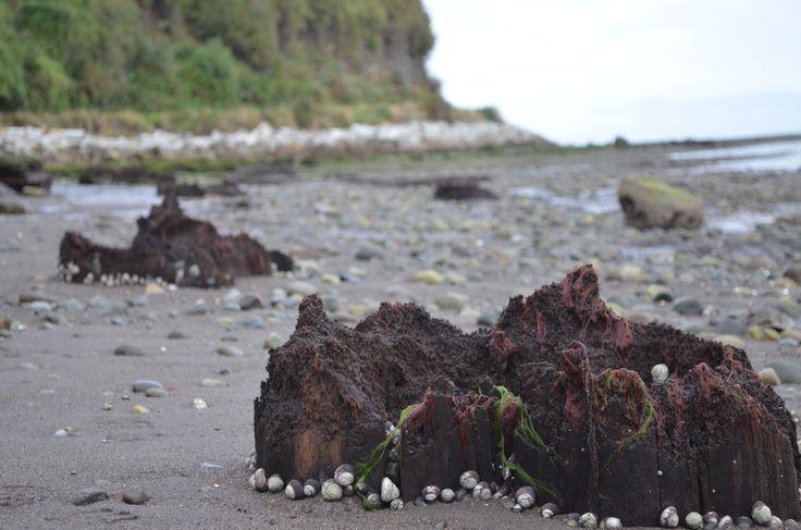 Bosque Fósil de Punta Pelluco (playa Pelluhuin)