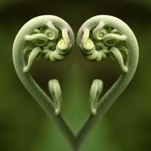 for the love of fiddleheads