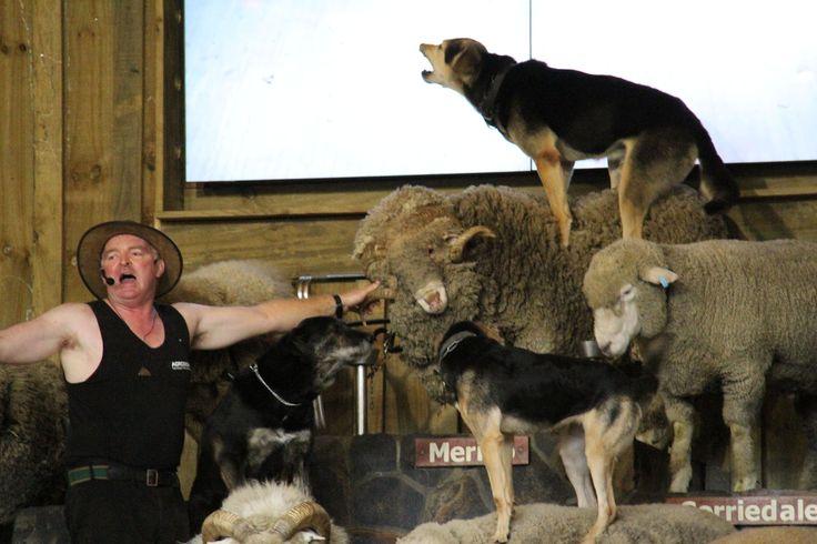Sheep show in Rotorua