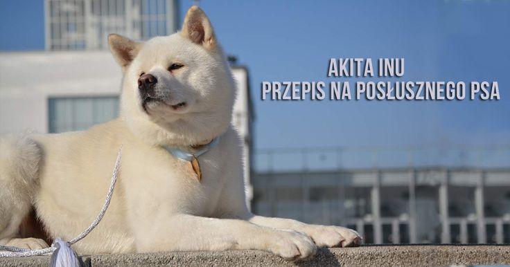 szkolenie psa akita inu - tresura akity amerykańskiej http://www.szkola-doberman.pl/tresura-psow/akita-inu/