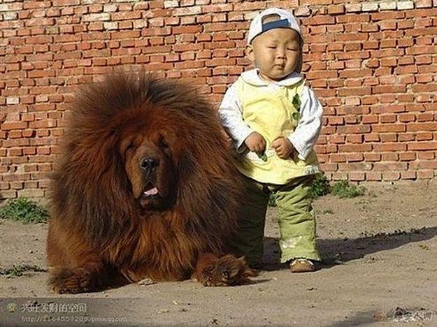babies and animalsHuge Dogs, Cute Animal, Friends, Chow Chow, Big Hair, Tibetan Mastiff, Chowchow, Little Boys, Big Dogs