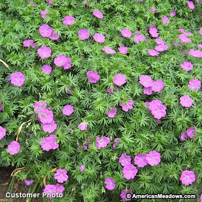 Bloody Crane's Bill is the most popular of them all.  Blooms for months with no care at all.  A great plant. (Geranium sanguineum)