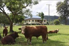 Simentel Bull Fawcetts Plain Road, KYOGLE