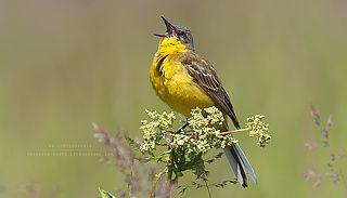 35PHOTO - Snowrain - Желтые птицы лета
