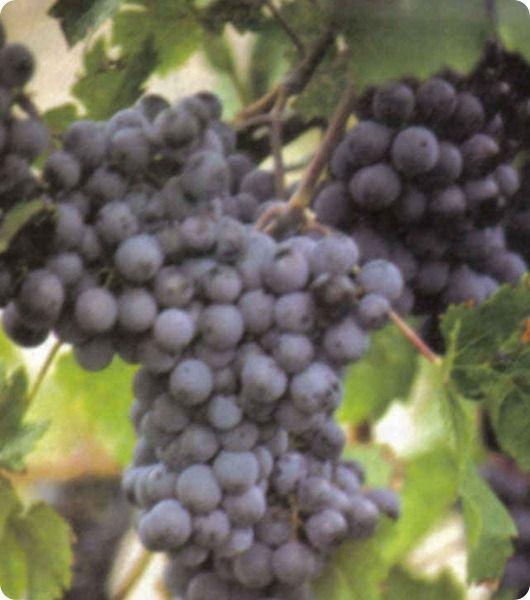 Il vino biologico italiano, un'importante alternativa di mercato.