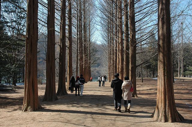 Day 2-Nami Island is a tiny half-moon shaped island located in Chuncheon, Gangwon Province - about 60 km east of Seoul. It was formed in 1944 with the flooding of the land cause by the construction of the Cheongpyeong Dam was built.#AviaPromo #Travelmania Aviatour