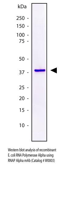 E. coli RNA Polymerase alpha Monoclonal Antibody, Ascites, W0003, NeoClone