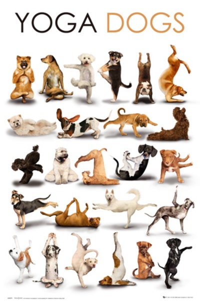 Yoga Dogs ....and many more Yoga Dogs on this link....Cream Siberian Husky looks like my dog named Shila. Do yoga in the mornings sometimes, and she will do some also.