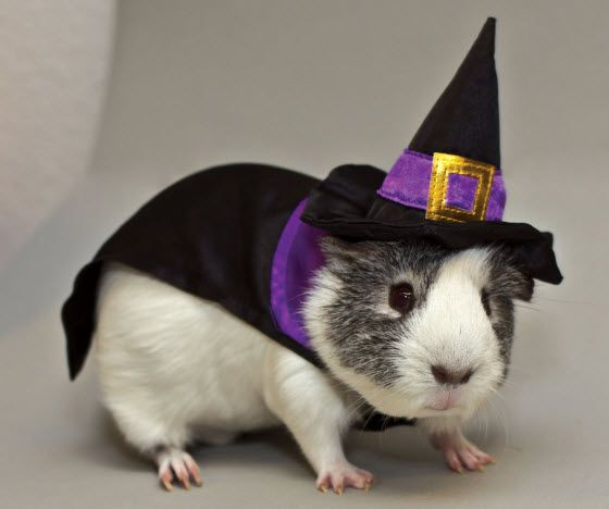 Guinea Pig witch Halloween costume from All Living Things