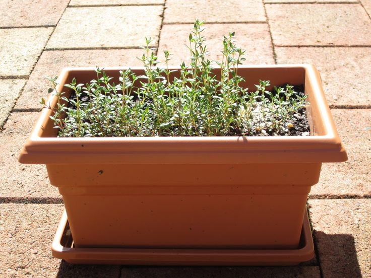 Thyme - just a very versatile herb with a glorious fragrance: http://www.gardenkit.com.au/shop/thyme-kit/