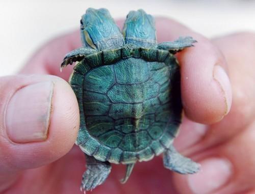 Siamese Turtle - nature has such wonderment!!!!