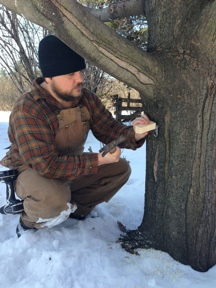 Karl tapping Autumn Blaze Maple: Small Batch Maple Syrup-Making: You Only Need 1 Tree! How to make maple syrup at home without sugar maples. Whole-Fed Homestead